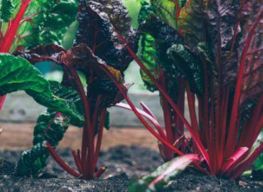 Gemüse im Naturgarten